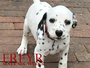Dalmatian Puppy for sale in ENID, OK, USA