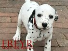 Dalmatian Puppy For Sale in ENID, OK, USA