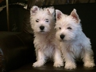 West Highland White Terrier Puppy For Sale in INWOOD, WV, USA
