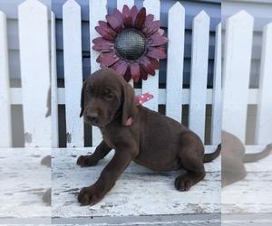 Labrador Retriever Puppy for sale in SHILOH, OH, USA