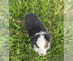 Small #24 Australian Shepherd
