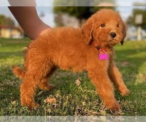 Goldendoodle-Poodle (Standard) Mix Puppy for Sale in ROSEMEAD, California USA