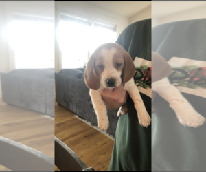 Beagle Puppy for sale in SALEM, OR, USA