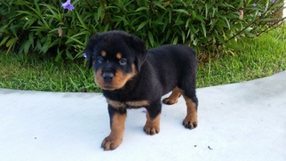Rottweiler Puppy For Sale in RICHMOND, TX