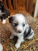 Australian Shepherd Puppy For Sale in KERRVILLE, TX, USA