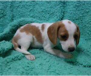 Beagle Dog for Adoption in ORO VALLEY, Arizona USA