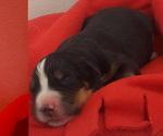Small #2 Bernese Mountain Dog
