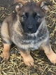 German Shepherd Dog Puppy For Sale in BOWIE, MD, USA