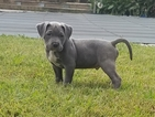 American Bully Puppy For Sale in VIRGINIA BEACH, VA, USA