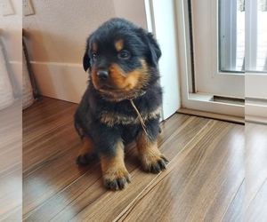 Rottweiler Puppy for Sale in TOLEDO, Washington USA