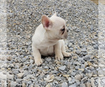 Small Photo #6 French Bulldog Puppy For Sale in WEST PLAINS, MO, USA