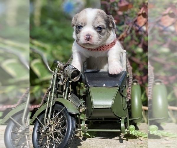 Medium Photo #13 Bullhuahua-Chihuahua Mix Puppy For Sale in RAWSONVILLE, MI, USA