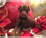 Puppy 6 Doberman Pinscher