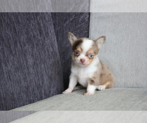 Chihuahua Puppy for sale in CHICAGO, IL, USA