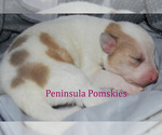 Small Photo #6 Pomsky Puppy For Sale in SEQUIM, WA, USA