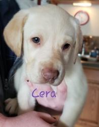 Sheprador Puppy for sale in CONCORD, NH, USA