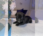 Puppy 5 French Bulldog