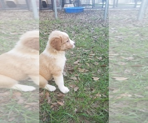 English Shepherd Puppy for Sale in CULLMAN, Alabama USA