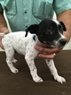 Rat Terrier Puppy For Sale in POOLVILLE, TX, USA