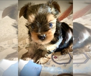 Yorkshire Terrier Puppy for Sale in THE WOODLANDS, Texas USA