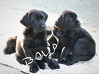 Labrador Retriever Puppy For Sale in WOODLAND, WA, USA