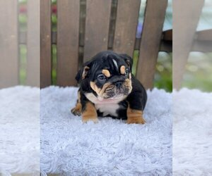 Bulldog Puppy for sale in CLEVELAND, OH, USA