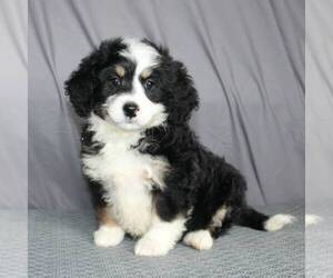 Bernedoodle-Poodle (Miniature) Mix Puppy for sale in SUNBURY, PA, USA