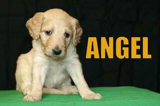 Goldendoodle Puppy For Sale in GUTHRIE, NC, USA