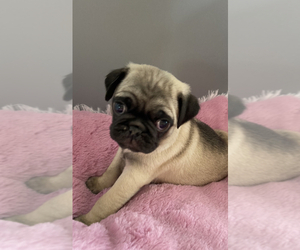 Pug Puppy for sale in CLINTON, MI, USA