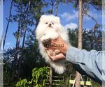 Small #21 Pomeranian