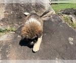 Puppy 7 Akita
