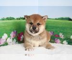 Small #3 Shiba Inu