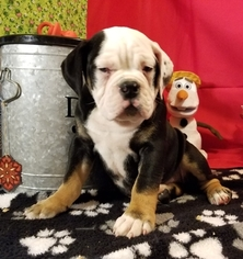 Olde English Bulldogge Puppy For Sale in CYNTHIANA, IN, USA