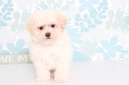 Emily Female PooChon Puppy