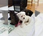 Small #4 Miniature Bulldog