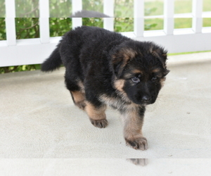 German Shepherd Dog Puppy for Sale in CONCORD TWP, Ohio USA
