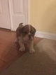 English Bulldog Puppy For Sale in SALISBURY, Maryland,