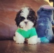 Shih Tzu Puppy For Sale in LOS ANGELES, CA