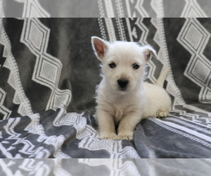 West Highland White Terrier Puppy for sale in SHILOH, OH, USA
