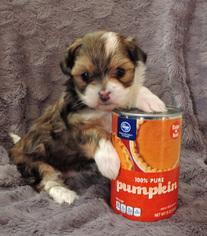 Mi-Ki Puppy For Sale in FORT WORTH, TX
