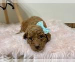 Puppy 6 Australian Labradoodle