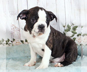 Buggs Puppy for sale in PENNS CREEK, PA, USA