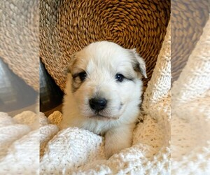 Great Pyrenees Puppy for Sale in FALCON, Colorado USA