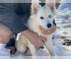 Pomsky Puppy for Sale in BOSTON, Massachusetts USA