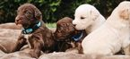 Labradoodle Puppy For Sale in SALEM, OR, USA
