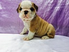 English bulldog 8 weeks