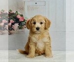 Puppy 4 Maltipoo-Poodle (Toy) Mix