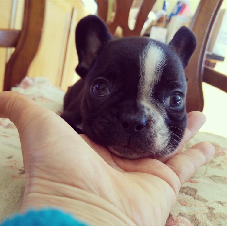 View Ad French Bulldog Puppy For Sale California Los
