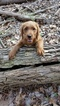 Labradoodle Puppy For Sale in PITTSBURGH, PA