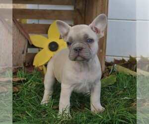 French Bulldog Puppy for sale in LANCASTER, PA, USA